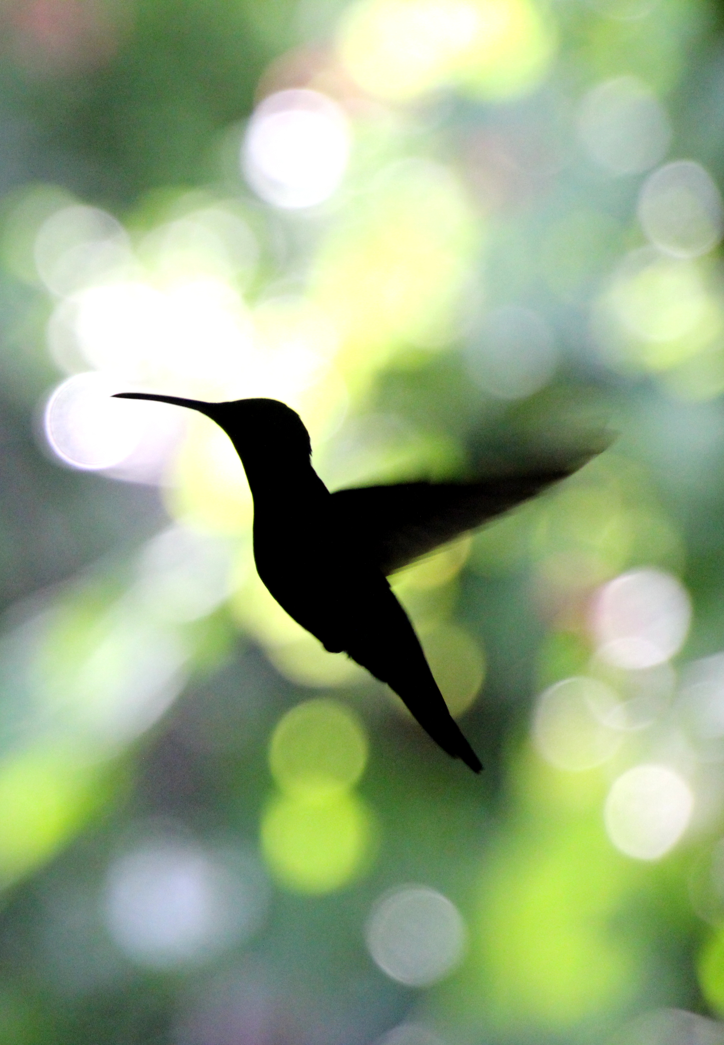 Different Types of Hummingbirds - Hummingbirds Plus
